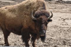 Bizon wildlife nature Stock Photos