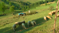 People raking hay on the meadow while sheep graze at summer day - stock footage