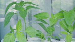 Seedlings of pepper on window sill Stock Footage