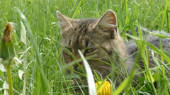 Striped cat hunts. Hidden in the grass. Looking for prey Stock Footage