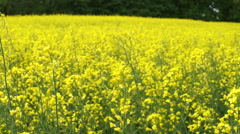 Warm spring's wind blowing through the yellow rapeseed field - stock footage