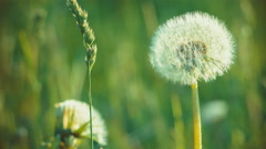 Dandelion field closeup over nature green blurred background. on evening. - stock footage