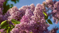 Lilac bushes in full bloom in the spring on blue kly background Stock Footage