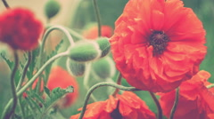 Decorative red poppy flower in spring day, close up with some green halms - stock footage