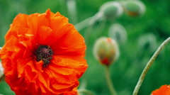 Very close big decorative red poppy flower in spring day, Stock Footage