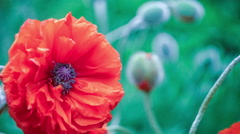 Very close big decorative red poppy flower in spring day Stock Footage