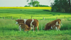 Two beautiful brown calves trinking cow milk, yellow rape fileds on background Stock Footage
