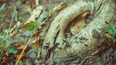 army ants crawling along tree nice round stub, root. - stock footage