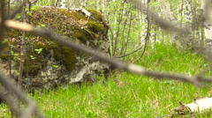 Grouse in the Wilderness on the Way to the Nest Stock Footage