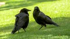 Two beautiful black ravens grooming and bonding with each other Stock Footage