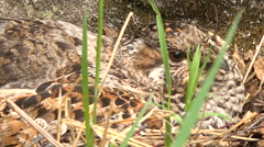 Female Sits on the Nest of Grouse Close up Stock Footage