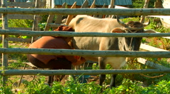 Woman milking a cow with hands at the mountain village - stock footage
