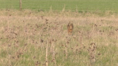 Brown Hare in open countryside - stock footage