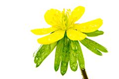 Isolated yellow wet blossom of winter aconite Stock Photos