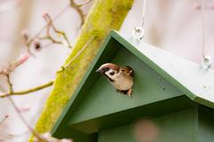Eurasian Tree Sparrow in a Birdhouse Stock Photos