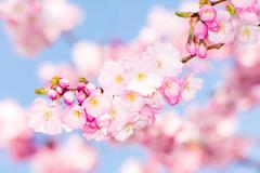 Twig with pink cherry blossoms Stock Photos