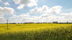 Full field of yellow rapeseed blossoms - stock footage