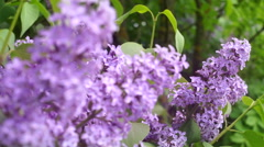 Purple olive blossom shaking in the wind Stock Footage