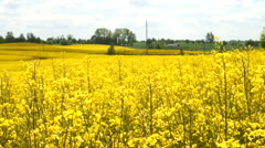 Field full of yellow rapeseeds, truck driving in horizont - stock footage