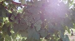 Portuguese vineyard, green wine. Stock Footage