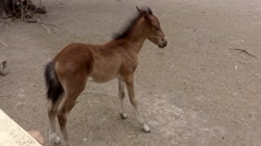 Isolated shot of Brown Foal in Pasture - stock footage