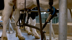 Cows on a indoor farm - milking. Stock Footage
