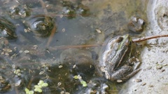 Green frog in the water. Among the natural habitat Stock Footage