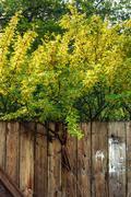 Siberian peashru (Caragana arborescens). Pea-tree behind old shabby fence wit Stock Photos