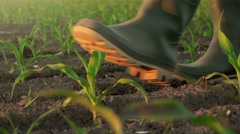 Farmer walking through corn plants rows in cultivated field - stock footage