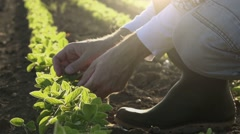 Farmer examining young soybean plants growth in cultivated field - stock footage