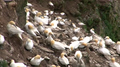 Gannet (Sula bassana) colony nesting on cliff - stock footage
