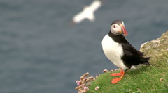 Atlantic Puffin (Fratercula arctica) on cliff Stock Footage