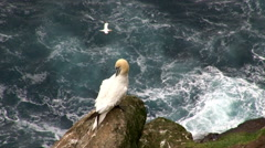 Gannet (Sula bassana) on cliff - stock footage