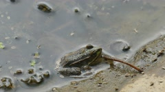 Green frog in the water. Among the natural habitat - stock footage