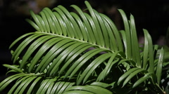 Taxus baccata Stock Footage