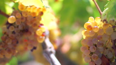 Portuguese vineyard of mature wine in Beira Interior region. Stock Footage