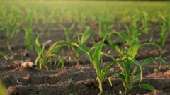Slider shot of young corn plants growing in cultivated field - stock footage