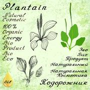 Plantain. Vector set of 3 drawing and hand-lettering - stock illustration