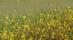 PERU: Grainfield (Close-up) with yellow flowers, Peru, South America Stock Footage