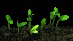 Time-lapse of growing cucumbers in RGB + ALPHA matte format - stock footage