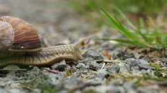 A snail with shell creeping slowly in front of the camera Stock Footage