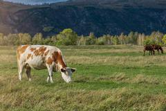 Grazing cow in mountain ranch - stock photo