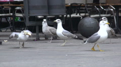 Urban seagull stealing a piece of bread on the street, wild birds in the city Stock Footage