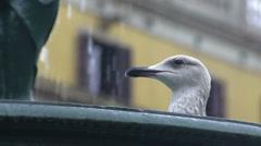 Beautiful seagull bird drinking from fountain, birdwatching in city, wildlife Stock Footage