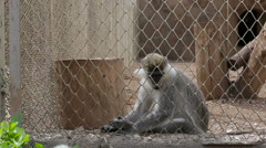 The monkey sits in a cage in a zoo Stock Footage