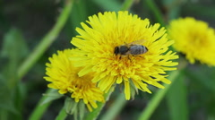 Floral garden. The one bee collects nectar from the flower of dandelion - stock footage