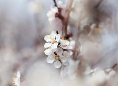 apricot flowers on a tree in nature - stock photo