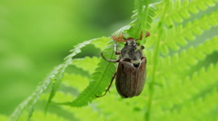 Floral garden. Close-up shot of a one beetle is crawling on the leaves of a fern Stock Footage