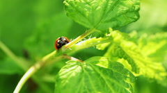 Floral garden. The one ladybug is crawling on a stem of a green plant - stock footage
