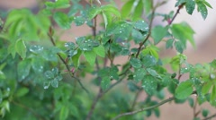 Rose leaves in slow wind after a summer rain Stock Footage